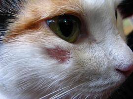 У кота язвочки на ухе